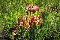 "The ""umbrella-less"" short and stumpy gulf pitcher plant in flower growing in a roadside ditch in the Apalachicola National Forest."