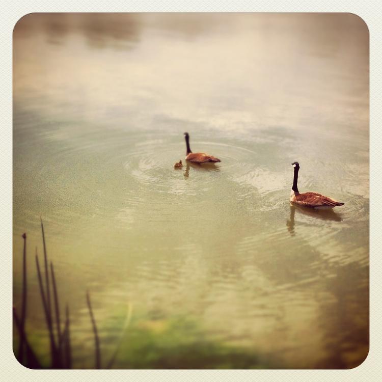 Geese on Sloan's Lake, Denver, CO
