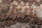 Larger Mouse-Tailed Bat (Rhinopoma microphyllum) on a cave wall, Photographed in Golan Heights, Israel