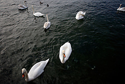 SWITZERLAND ZURICH 3MAR12 - Swans on Lake Zurich in Zurich, Switzerland. ....jre/Photo by Jiri Rezac....© Jiri Rezac 2012