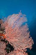 (Sea fan. Photo by Travel Photographer Matt Considine)