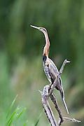 African Darter.Anhinga rufa.Polokwane Bird Reserve.Pietersburg, Limpopo Province,.South Africa.11 January 2006