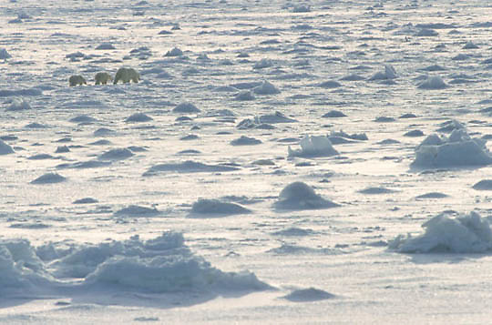 Polar Bear, (Ursus maritimus) Mother with cubs on ice pack of Hudson Bay. Churchill, Manitoba. Canada.
