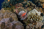 Lionfish (Scorpionidae Pterois?)<br /> Cenderawasih Bay<br /> West Papua<br /> Indonesia