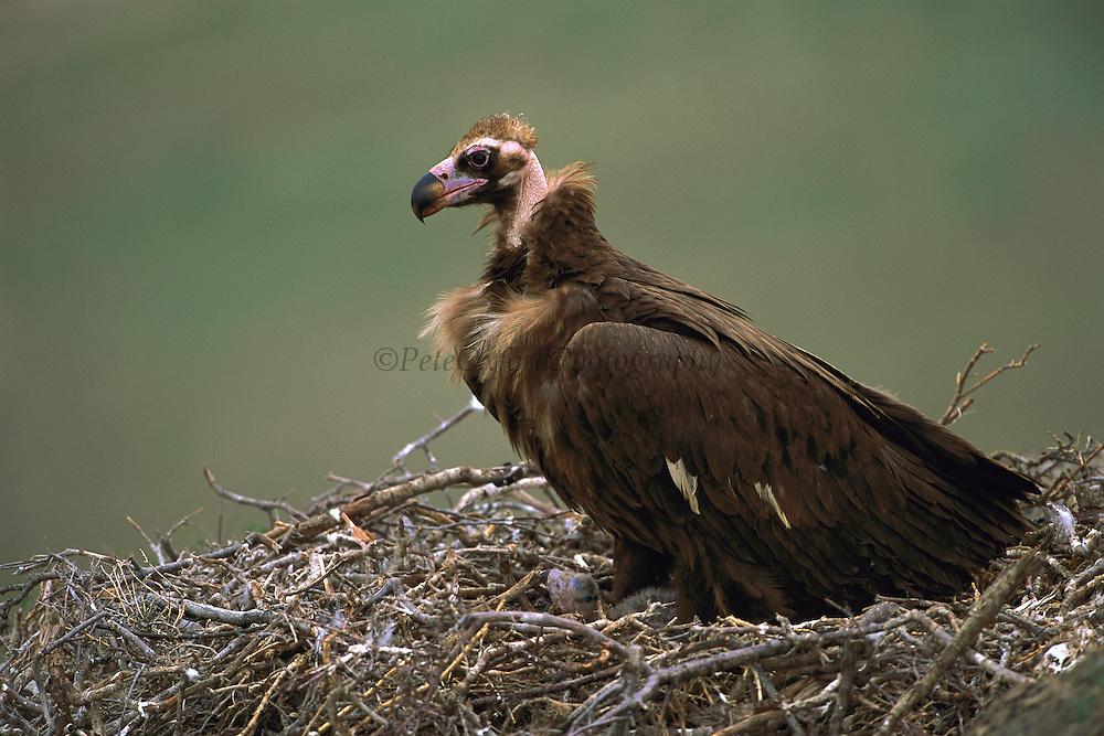 Eurasian Black Vulture (Aegypius monachus) in nest with chick, Gobi Desert, Mongolia