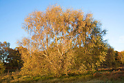 Silver birch tree in autumn leaf colours on heathland near Snape, Suffolk, England