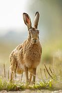 European Hare (Lepus europaeus) adult on farm track, South Norfolk, UK. August.