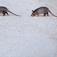 LITTLE ST. SIMONS ISLAND, FL -- October 2, 2010 -- Armadillos cross the road on Little St. Simons Island on Saturday, October 2, 2010.   The 10,000 acres of marshland, beaches, and forests are a refuge for wildlife and vacationers alike with only 32 guests permitted a night.  (Chip Litherland for Bay Magazine)