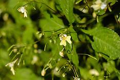 Klein springzaad, Impatiens parviflora