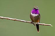 Purple-throated Woodstar (Calliphlox mitchelli), Cali, Valle del Cauca