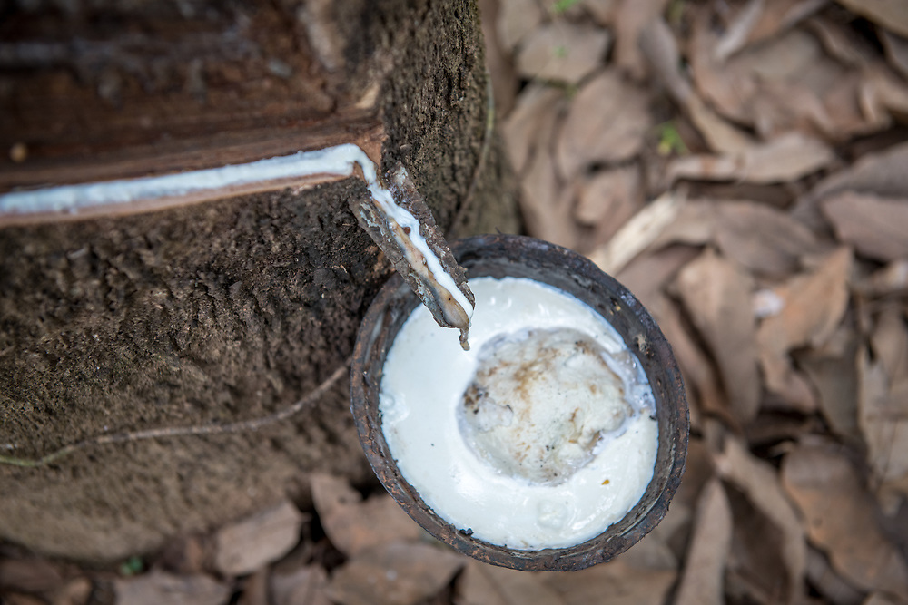 Bucket collects milky latex being extracted from rubber tree (Hevea Brasiliensis),  Republic of Guinea