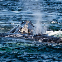 North Atlantic right whales (Eubalaena glacialis) socializing at the surface of the Gulf of Saint Lawrence, Canada. IUCN Status: Endangered