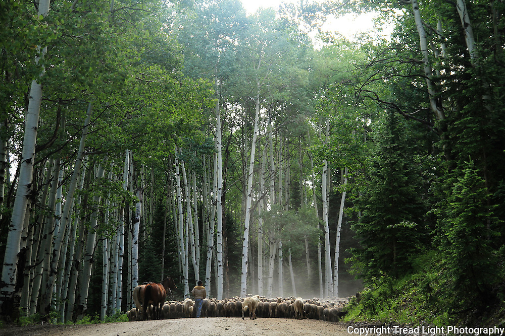 Alpine sheep flocks move up and down Kebler pass, west of Crested Butte, on the main dirt road.