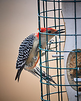 Red-bellied Woodpecker. Image taken with a Nikon D5 Camera and 600 mm f/4 VR lens (ISO 180, 600 mm, f/4, 1/640)