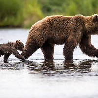 The grizzlies of California probably resembled their counterparts elsewhere in North America, given some similiarities in food resources and the landscape in the coastal areas of Alaska and British Columbia.