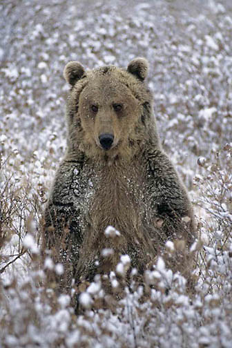 Grizzly Bear, (Ursus horribilis) Adult in snowy brush. Montana. Winter. Captive Animal.