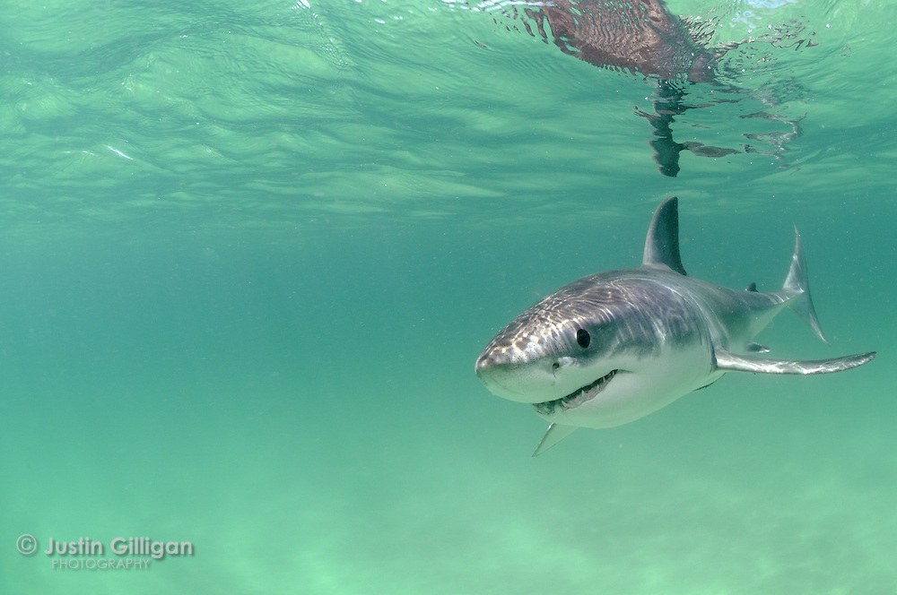 A juvenile great white shark cruises in shallow water. Newcastle, NSW, Australia.