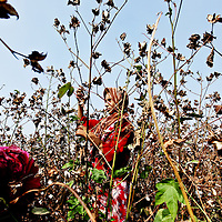 A young girl works in a cotton field in Benha, Egypt, 48 kms north of Cairo, Egypt. September 2010.