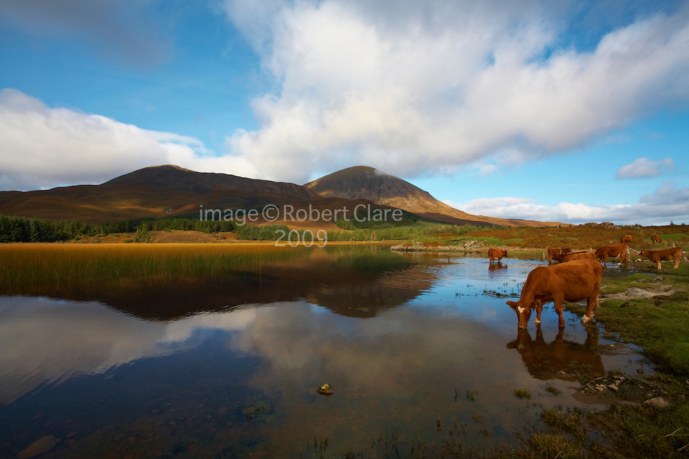 Scotland  Inner Hebrides Isle of Skye  Loch Cill Chriosd looking across to Beinn na Caillich 732mtrs  Beinn Dearg Bhearg 582 mtr  Beinn Dearg Mhor.Cattle drinking