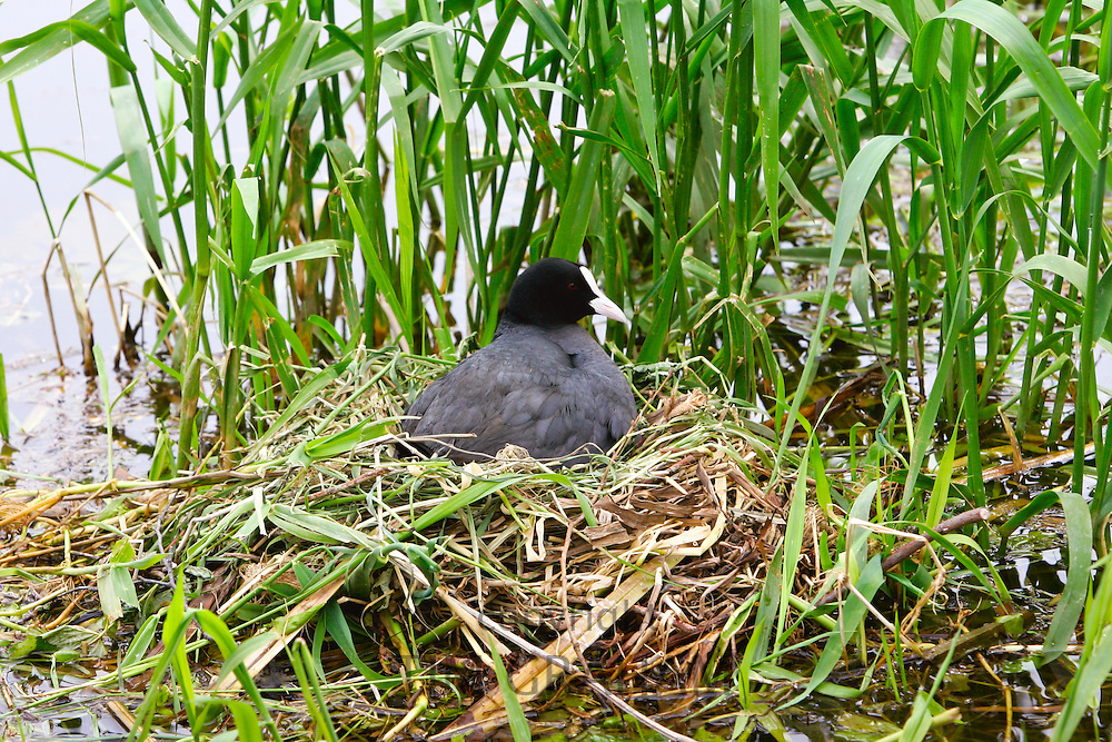 Female coot on her nest among reeds on a river in the Cotswolds, Gloucestershire