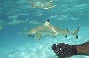 Shark feeding, Bora Bora, French Polynesia<br />