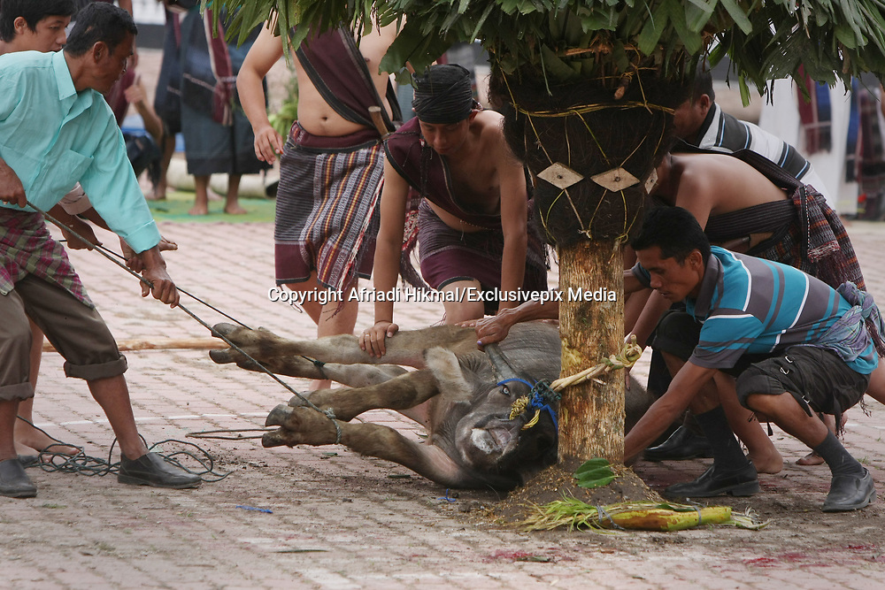 SHOCKING IMAGES as Water buffalo slaughtered for harvest<br /> <br /> These shocking images show a water buffalo as the animal is slaughtered in front of a crowd the  Mangalahat Horbo Bius or sacrificing water buffaloes with speared to death has been a long standing tradition among the native Batak people at Samosir island in North Sumatra, Indonesia. The animal is sacrificed to give thanks to the spirits and ask them for a fruitful harvest. After the ritual, the meat of the buffalo is distributed among the people.<br /> The Mangalahat Horbo Bius was forbidden by the colonial administration in agreement with the demands made by the missionaries.<br /> &copy;Afriadi Hikmal/Exclusivepix Media