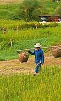 Rice paddies, Four Seasons Resort Chiang Mai, Mae Rim district, near Chiang Mai, Northern Thailand