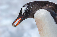 Gentoo penguin, Pygoscelis papua with a rock at Neko Harbor on the Antarctic Peninsula.