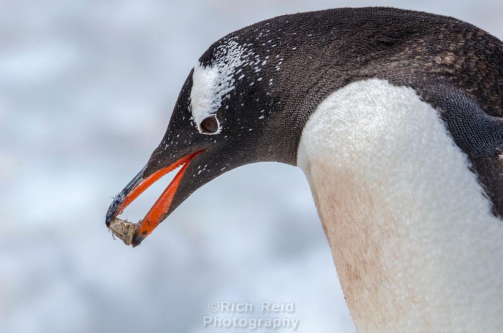 Gentoo penguin, Pygoscelis papua with a rock at Neko Harbor on the Antarctic Peninsula.