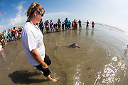 Released by The University of Texas Marine Science Institute, a green sea turtles are released in the shallow water, Saturday, Oct. 11, 2014, at Mustang Island Beach, near Port Aransas, Texas. The Animal Rehabilitation Keep at the University, who treated the animal with fibropapillomatosis, used the release as an opportunity to educate the community about endangered animals.