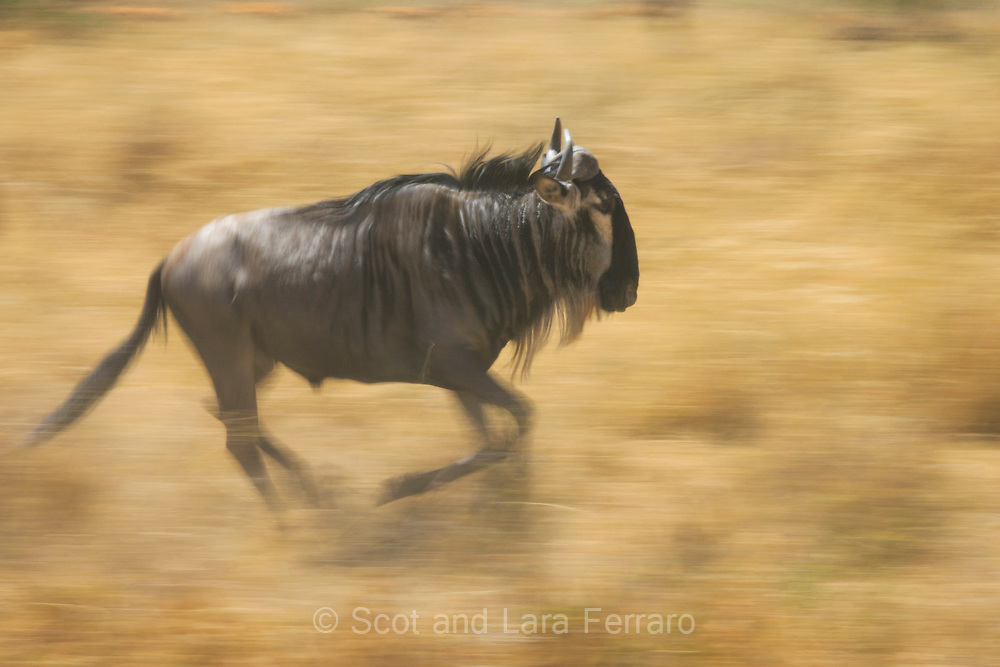 When we visited Tanzania we were hoping to see the great Wildebeest herds migrating across the Serengeti plains. However, the rains were late arriving and the resulting drought caused the Wildebeest to be much more scattered in their hunt for lush grass and water.