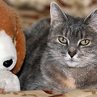 A Housecat sitting next to its friend - a stuffed Beagle Dog toy. Photo is of the Photographer's Mother's cat.