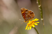 Phyciodes mylitta (Mylitta Crescent) at Bluff Lake Meadow, San Bernardino Co, CA, USA, on 10-Jul-11