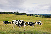 Friesian cows grazing in a field, the Cotswolds, England, United Kingdom.