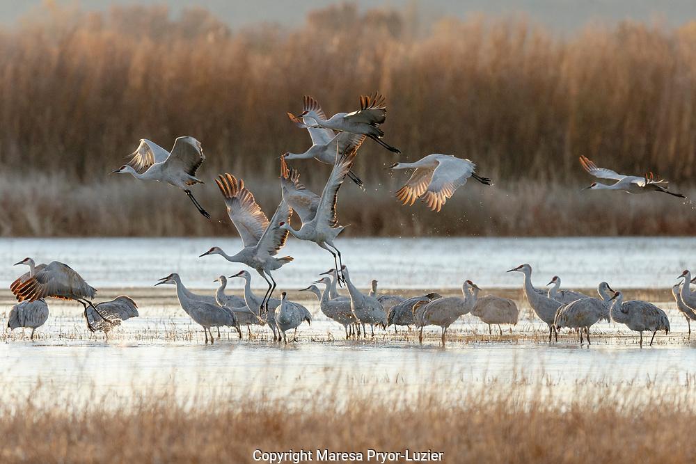 Sandhill Cranes take flight, Grus canadensis, Boseque del Apache, NWR, New Mexico