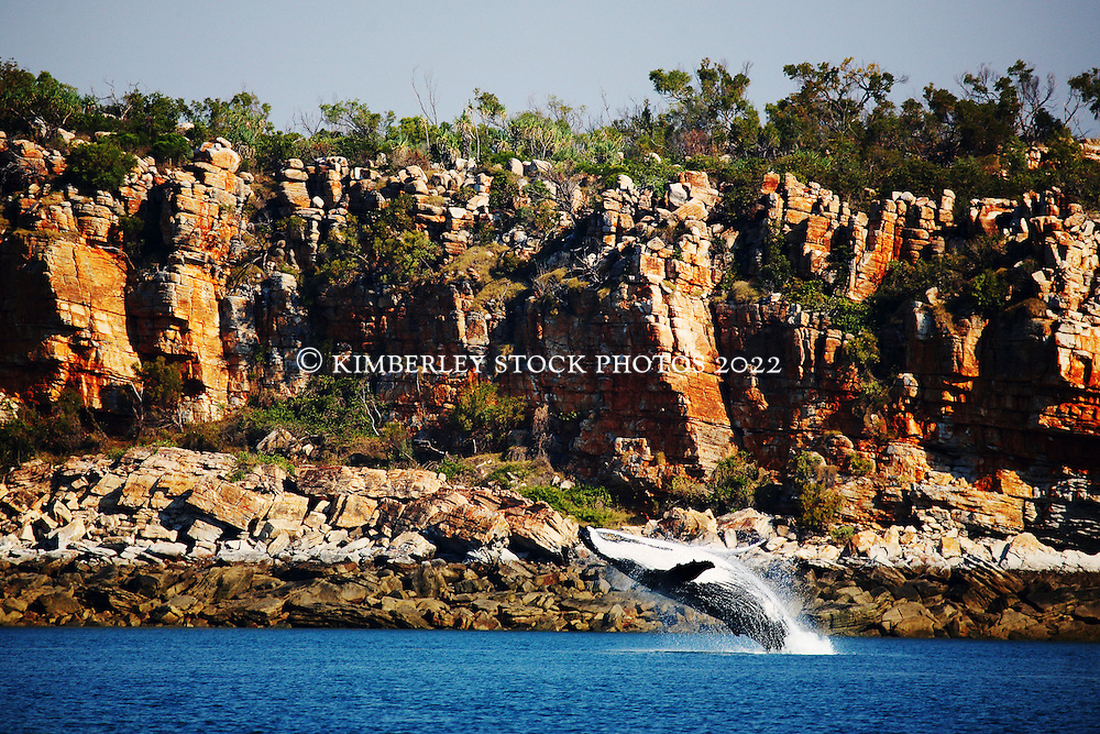 A humpback whale breaches in Camden Sound, on the mid north Kimberley coast.  Camden Sound was announced in 2009 as the Kimberley's first marine park by environment minister Donna Faragher.  The tideline behind the whale demonstrates the extent of the King tides, leaving a distinctive line around the Kimberley coast.
