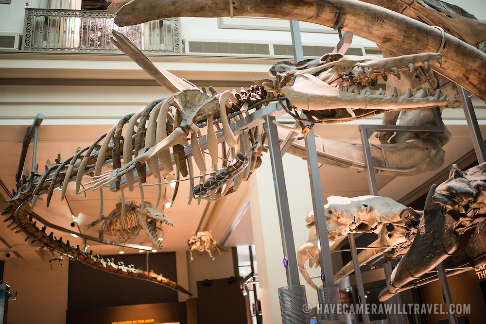 Skeletons of prehistoric marine animals hangs from the ceiling in the oceans exhibits at the Smithsonian National Museum of Natural History in Washington DC.