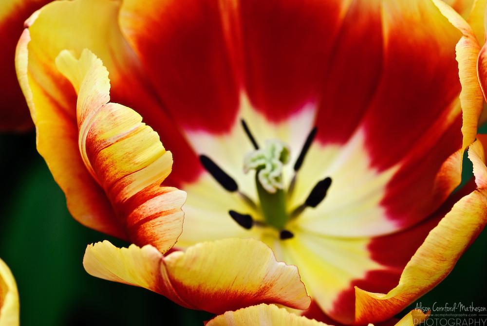 Triumph Tulip 'Dow Jones' Keukenhof Spring Tulip Gardens, Lisse, The Netherlands.