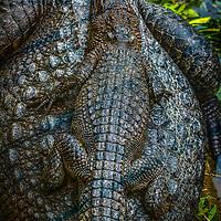 Siamese Crocodile-44