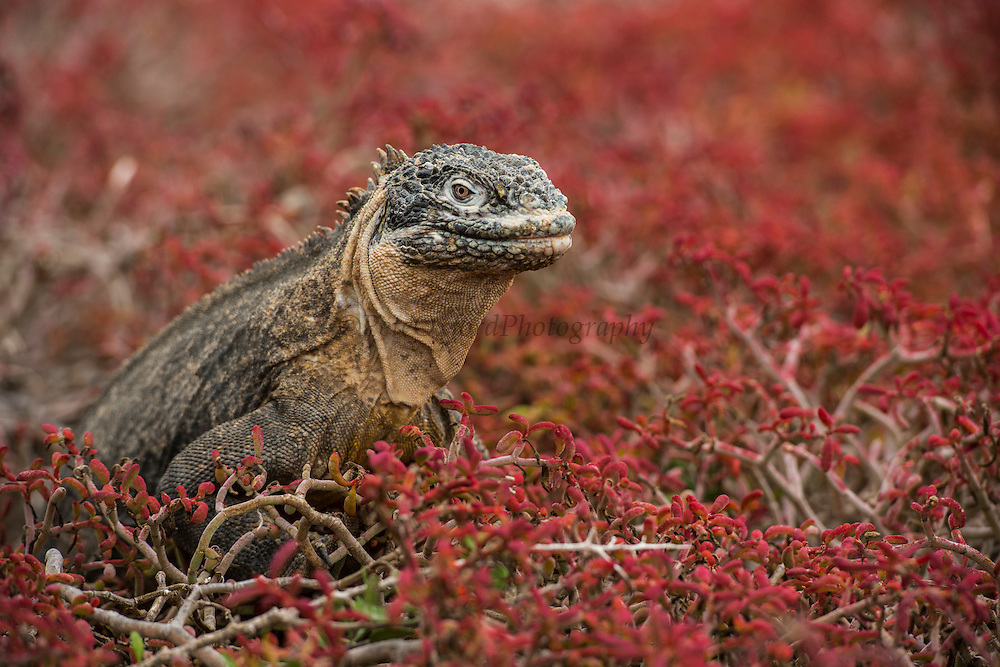 Galapagos Land Iguana (Conolophus subcristatus)<br /> South Plaza Island<br /> GALAPAGOS ISLANDS,<br /> Ecuador, South America<br /> ENDEMIC