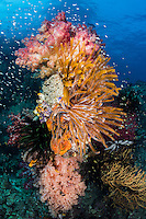 Feather Stars and Soft Corals explode in color<br /> <br /> Shot in Raja Ampat Marine Protected Area West Papua Province, Indonesia