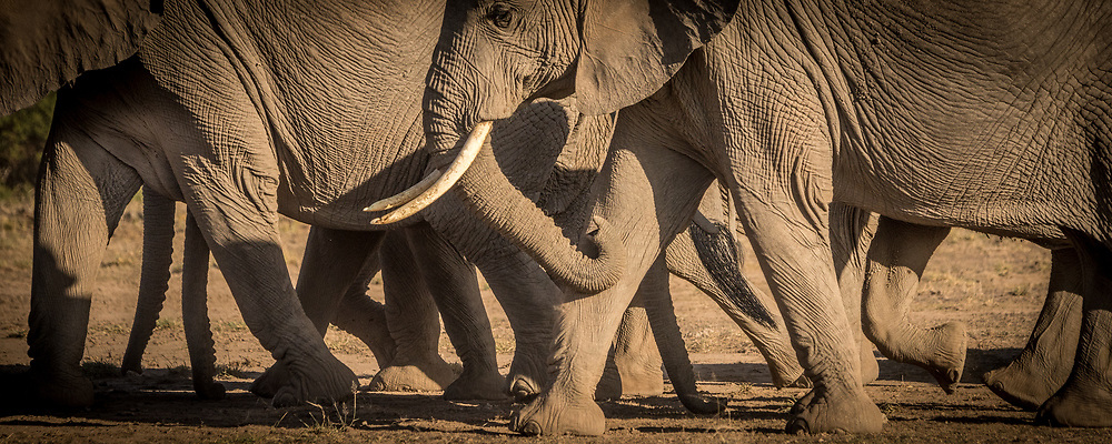 Elephants of Amboseli National Park, Kenya