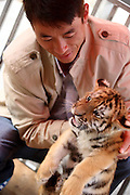 HUANGSHAN, CHINA - OCTOBER 16: (CHINA OUT) <br /> <br /> Baby Siberian Tigers <br /> <br /> A feeder examines baby Siberian tigers seen at  Mount Huangshan Tiger Park on October 16, 2014 in Huangshan, Anhui province of China. Three Siberian female tigers gave birth to nine baby Siberian tigers in August and the nine baby tigers have past their two months at Huangshan Mountain Tiger Park. Forty Siberian tigers at Mount Huangshan Tiger Park were brought from China's northeast Heilongjiang provinve in April, 2010<br /> ©Exclusivepix