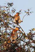 Male and pregnant female Proboscis Monkeys (Nasalis larvatus) by Kinabatangan River, Sabah