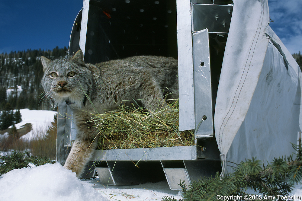 LAKE CITY, CO- APRIL 3: A Canadian lynx is released into the Colorado wilderness April 3, 2005 near Lake City, CO. To track the lynx once they are released into the new habitat, the Colorado Division of Wildlife outfits them with electronic collars. In 1999 the Colorado Division of Wildlife (CDOW) began a lynx reintroduction program, trapping the animals in Canada and bringing them to Colorado. The goal is to re-establish the lynx population in the state, which has been nonexistent since the 1970s, to a viable level where the population that can sustain itself. The program has brought in 204 lynx between 1999 and 2005. There have been 71 known deaths, and 101 kittens born. The program is considered widely as a success, however the program has also instigated controversy protests from animal rights groups and developers. (Photo by Amy Toensing) _________________________________<br />