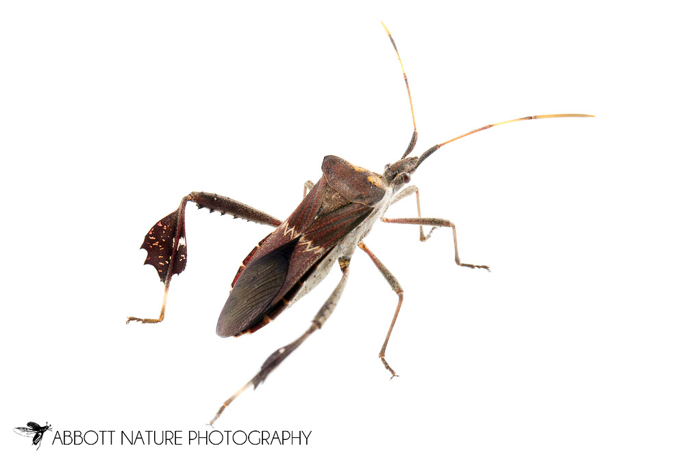 Leaf-footed Bug (Leptoglossus zonatus)<br /> TEXAS: Hidalgo Co.<br /> Old Hidalgo Pumphouse; Hidalgo<br /> 8-Nov-2014<br /> J.C. Abbott &amp; K.K. Abbott
