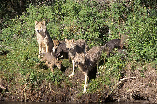 Gray Wolf, (Canis lupus) Pack of adult with pups, howling. Rocky mountains. Montana.  Captive Animal.