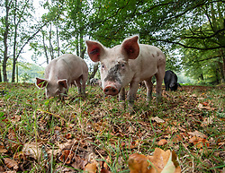 October 7, 2018 - United Kingdom - Image licensed to i-Images Picture Agency. 07/10/2018. New Forest, United Kingdom. Up to 600 pigs are being released into the New Forest, United Kingdom, for the start of the Pannage season. The long hot summer has produced a bumper crop of acorns which are poisonous to the wild ponies of the Forest. For the next two months they will be rummaging the forest to consume the fallen acorns. (Credit Image: © i-Images via ZUMA Press)