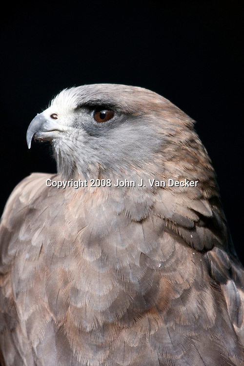 Swainsons Hawk closeup...Photo taken at The Raptor Trust, one of the premier, privately funded wild bird rehabilitation centers in the United States. The Raptor trust is recognized as a national leader in the fields of raptor conservation and avian rehabilitation.
