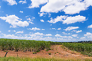 Field of sugarcane on farm under blue sky and cumulus cloud in tropical Tiaro, Queensland, Australia
